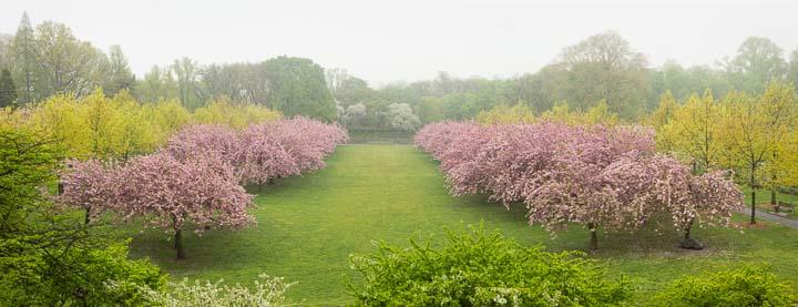 Cherry Esplanade - Brooklyn Botanic Garden