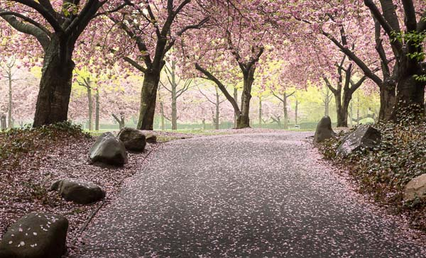 Cherry Walk - Brooklyn Botanic Garden
