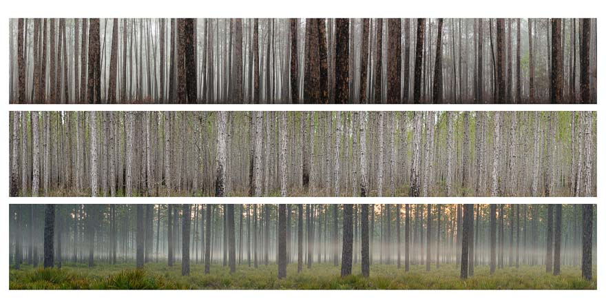 "Pine Study - Cary SF, from the series ""Decoding the Infinite Forest"""