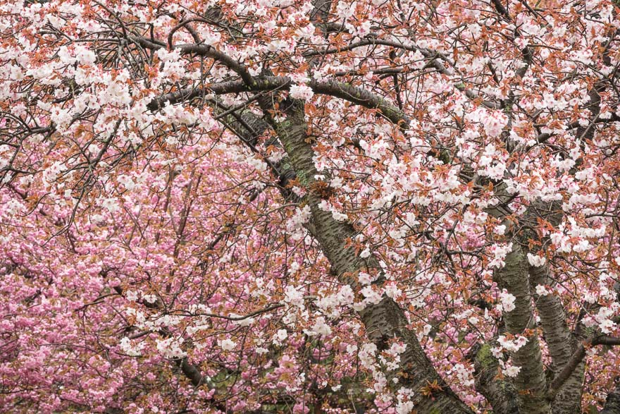 Cherry Blossoms - Brooklyn Botanic Garden
