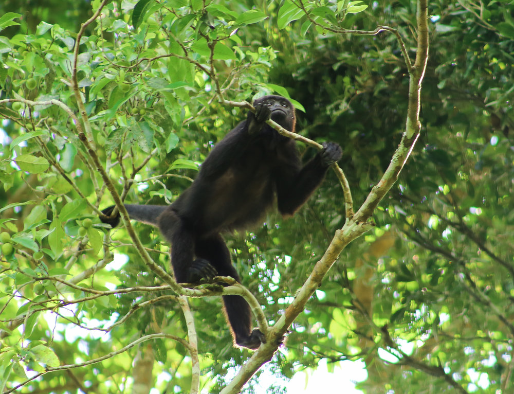 Howler monkey perched in the jungle canopy above.