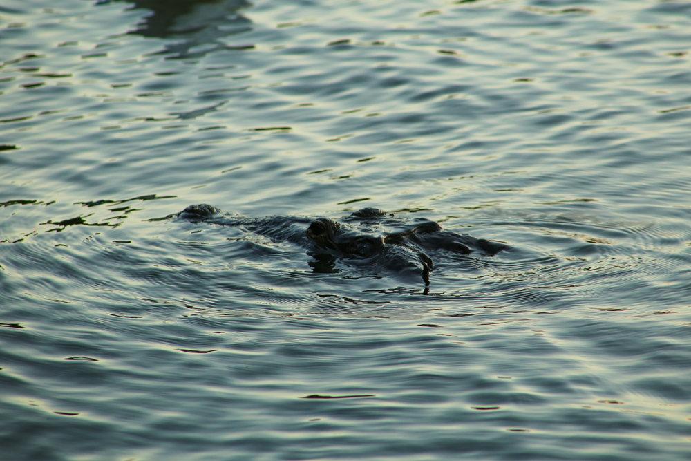 Crocodiles in the lake.