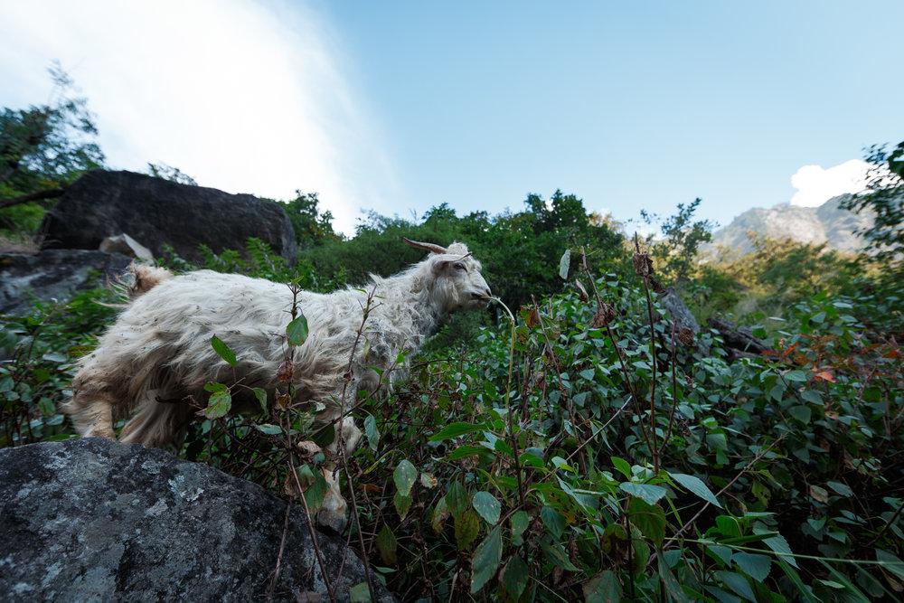 Mountain goats above enjoying the foliage.