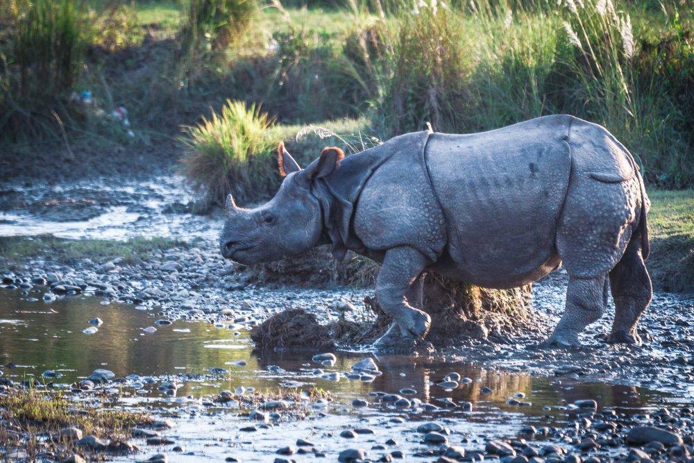 rhino-nepal
