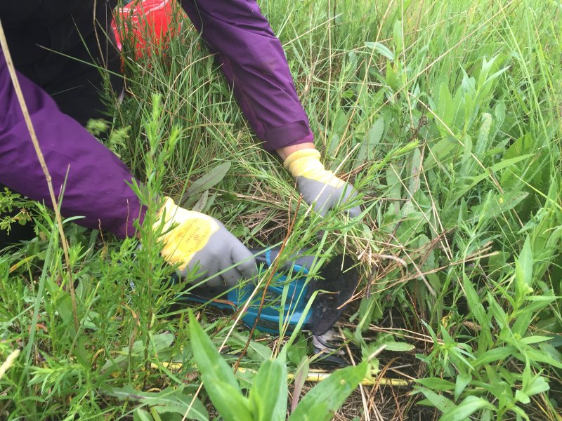 Andrea Hamilton (Summer Student) forage samples the planned grazing pasture with a clipper and a meter square in summer of 2016.