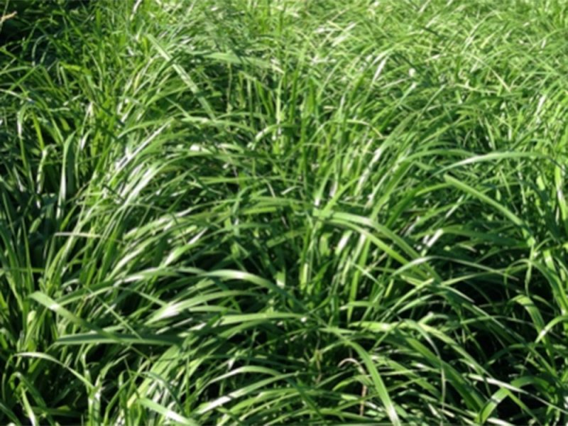 Italian ryegrass at the site in Carberry, Manitoba (August 8, 2015)