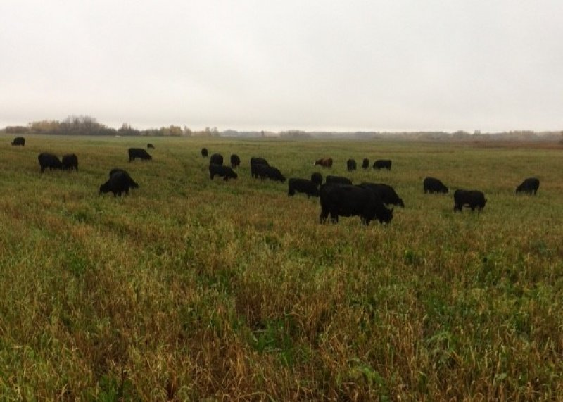 The MBFI cattle grazing the energy dense annual forages in October of 2016