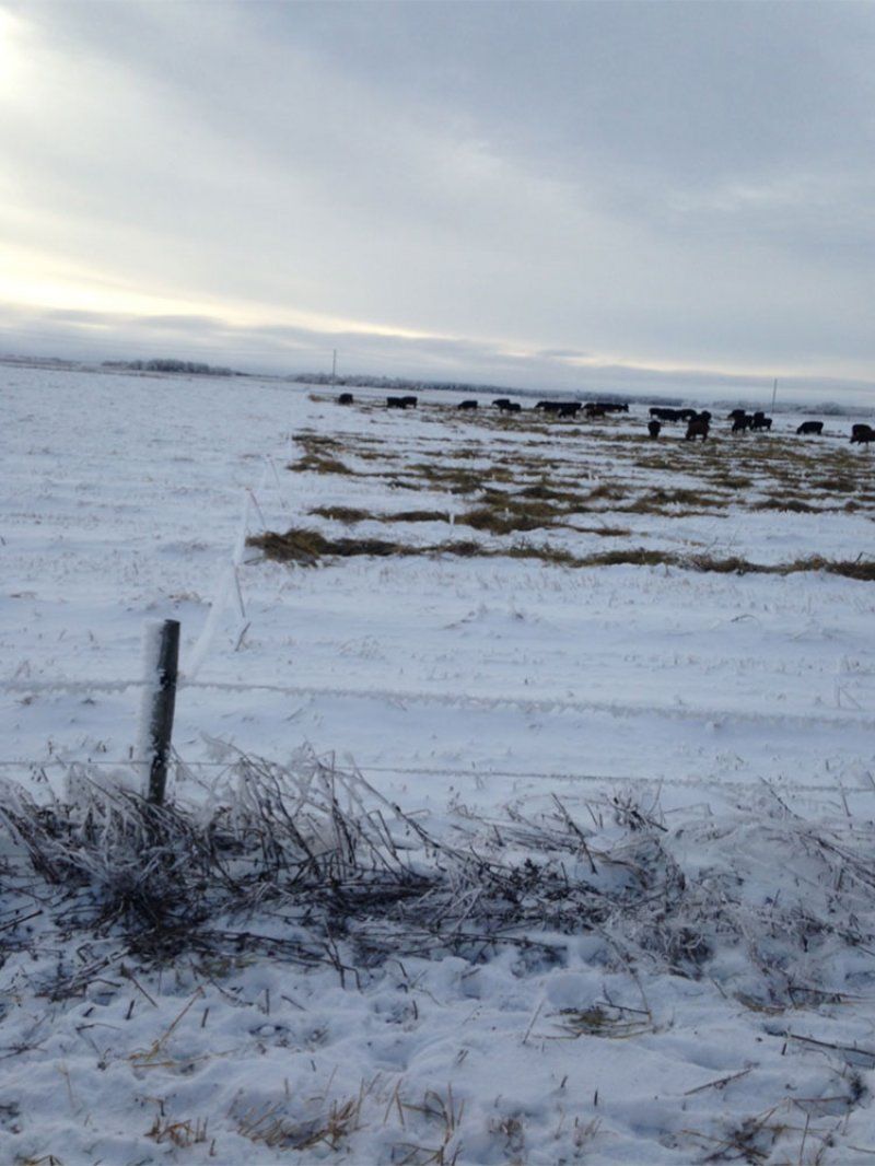 The MBFI cows grazing swathed millet in December 2015