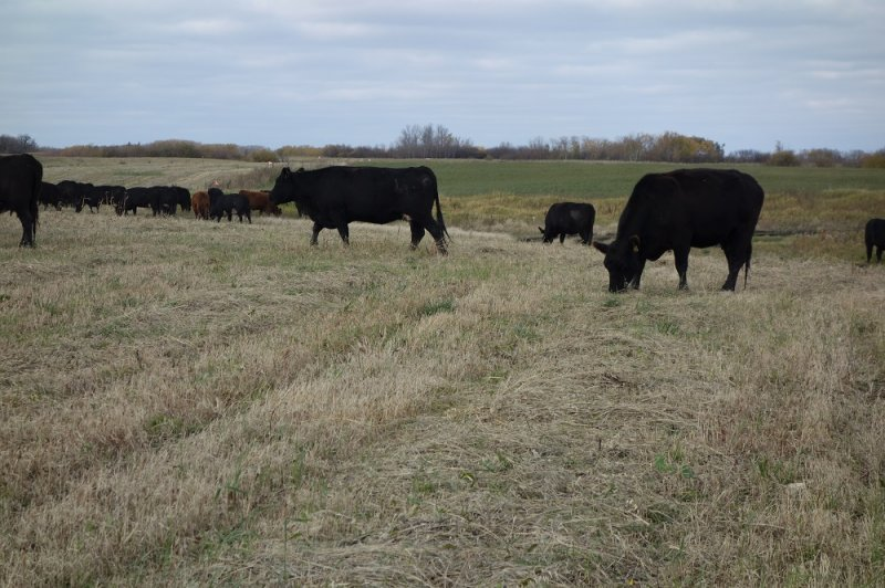 MBFI cattle grazing the swathed millet in Fall of 2016