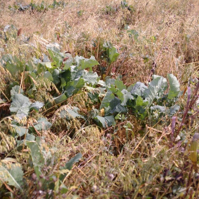 Turnips in the polycrop blend in September of 2016