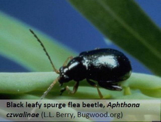 Black leafy spurge flea beetle, Aphthona czwalinae. Photo accessed July 15, 2016