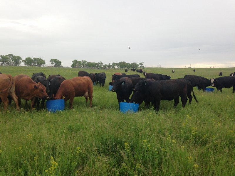 The beginning stages of the heifers being trained to eat leafy spurge (June 2016)