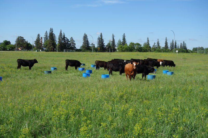 Buckets are used to introduce the cattle to eating leafy spurge. The whole training process takes just over a week. (June 2016)