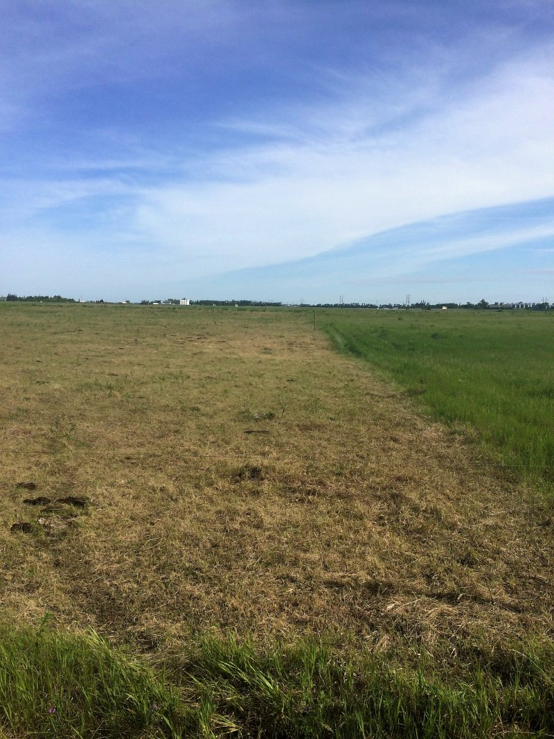 Sod seeding plot after cattle were removed (June 2016)