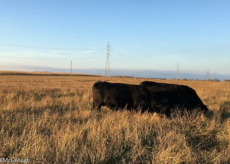 Heifers grazing forages