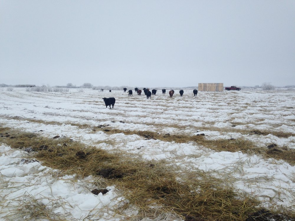 Cattle swath grazing at Brookdale 2016