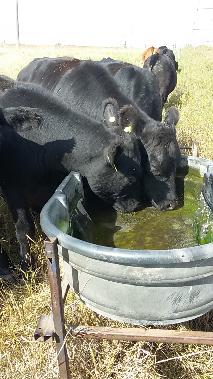 Water trough on Johnson summer system