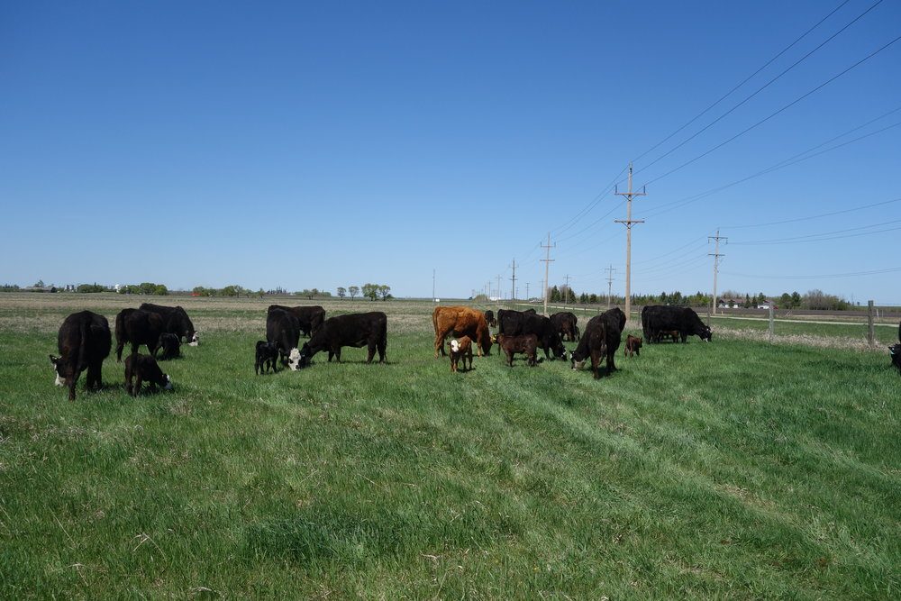 Cattle grazing at First Street