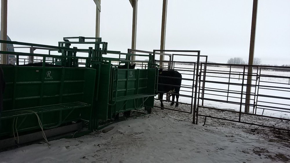 Cows lined up ready for pregnancy checking in the Brookdale Farm facilities with the stationary Real Industries handling system 2017