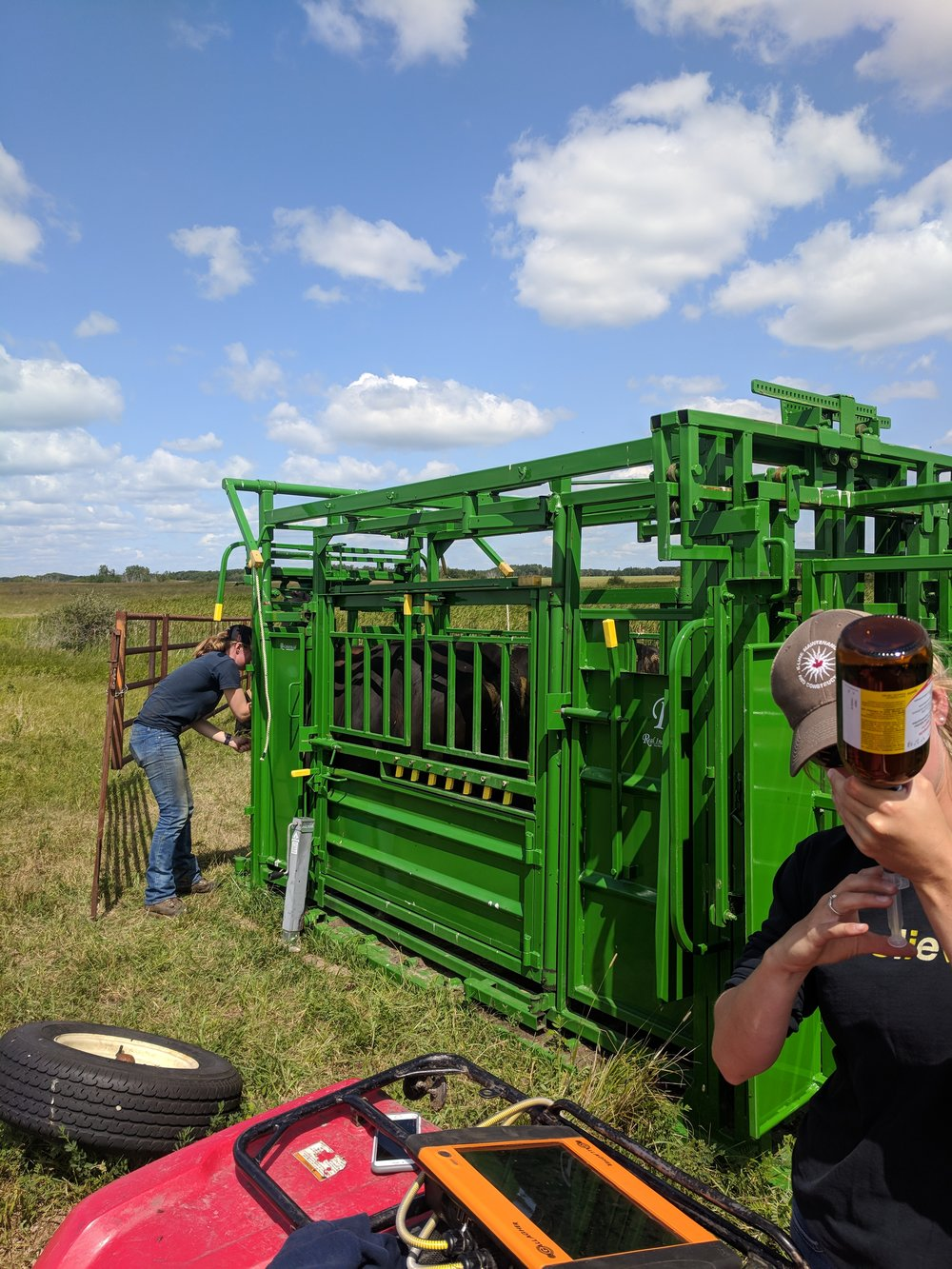 Treating cow at Brookdale with Real Industries portable handling system 2018