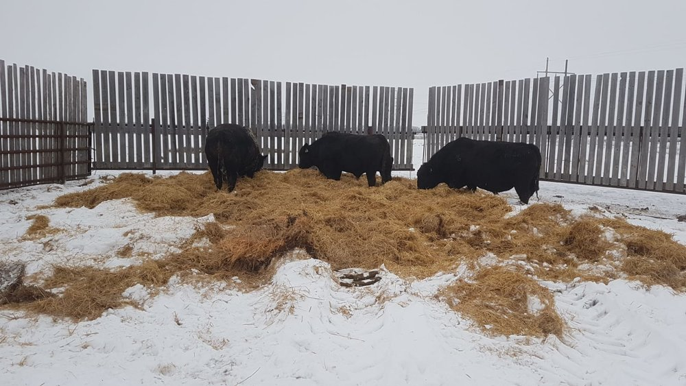 Bulls at Johnson Farm enjoying their straw pack 2018