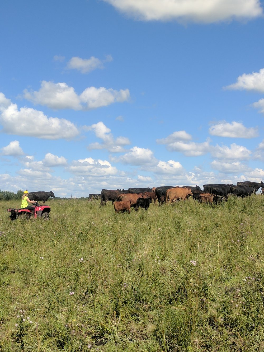 MBFI staff wearing go-pro helmet bringing in cattle to be weighed at Brookdale 2017