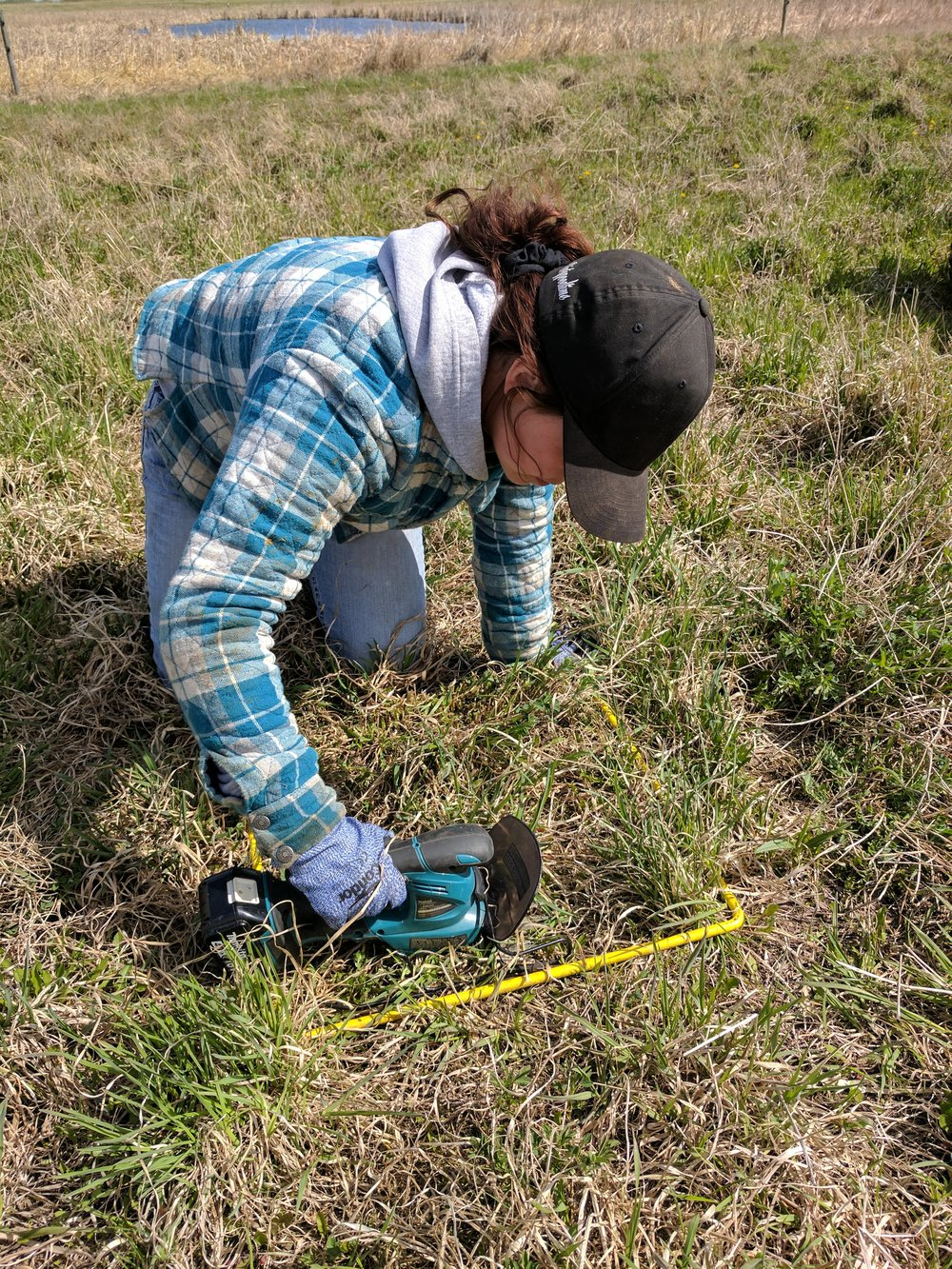Forage yield sampling on summer pasture at Brookdale 2017