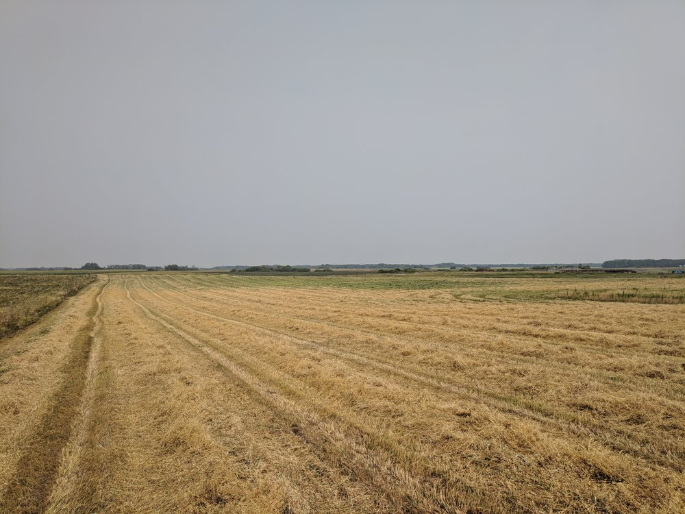 Green feed swaths before baling at Brookdale Farm for the Extensive Winter Grazing Project 2018