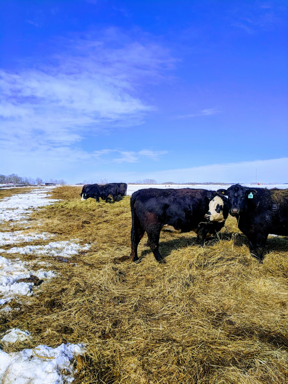 Cows bale grazing at the Brookdale Site 2018