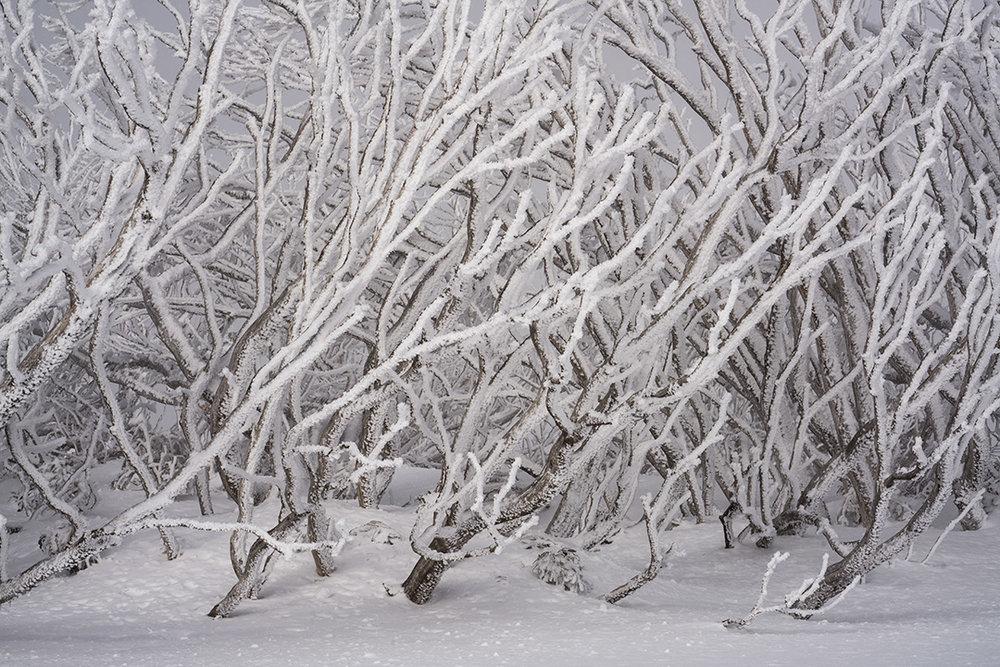 Snowgums 1.jpg