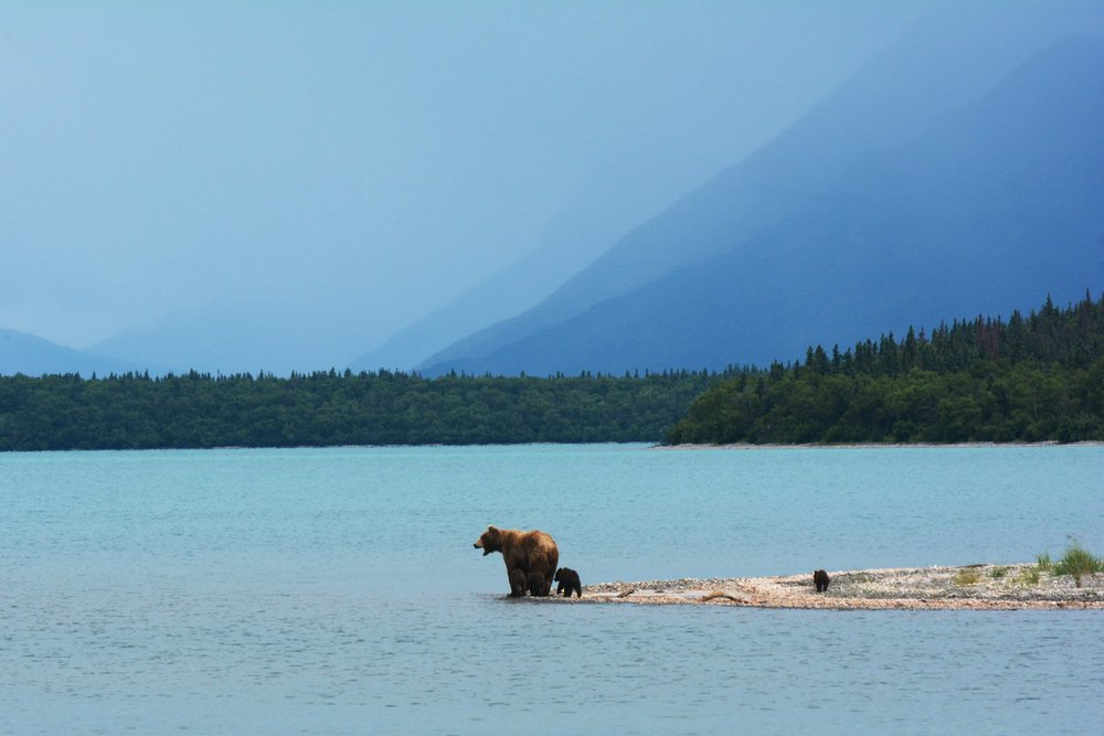 Bear on the water in Alaska