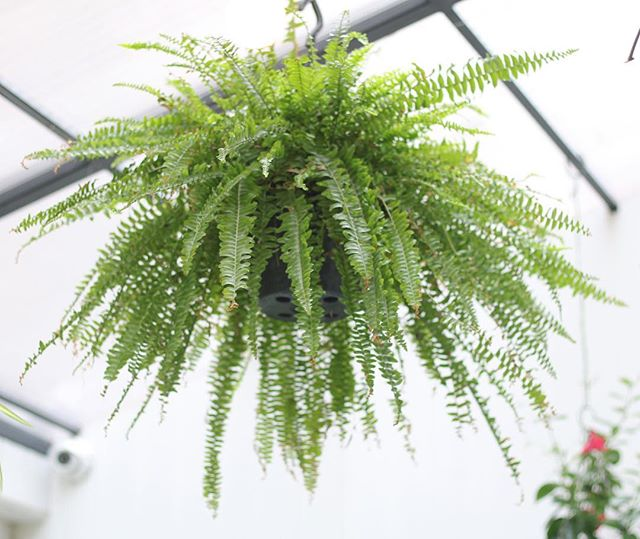 The BHB #PlantOfTheWeek by @robandtheplants is the Sideshow Bob, errr.... Boston Fern. ⠀ ⠀ This famous fern, like most, is found in the undergrowth of humid rainforests so that means to keep a prizewinner you have to keep it well misted! If you've not got time for that, keep it next to the shower. Another trick to raise humidity (that can look classy) is to keep the plant on a tray of pebbles. You need a rich, organic and free-draining potting mix, I've recently found manure & coconut coir to work like magic (and better for the environment than peat). You can get the fronds (leaves to you and me) up to 2 metres long, but these guys need a lot of access to nitrogen for that, so make sure feed once a month.