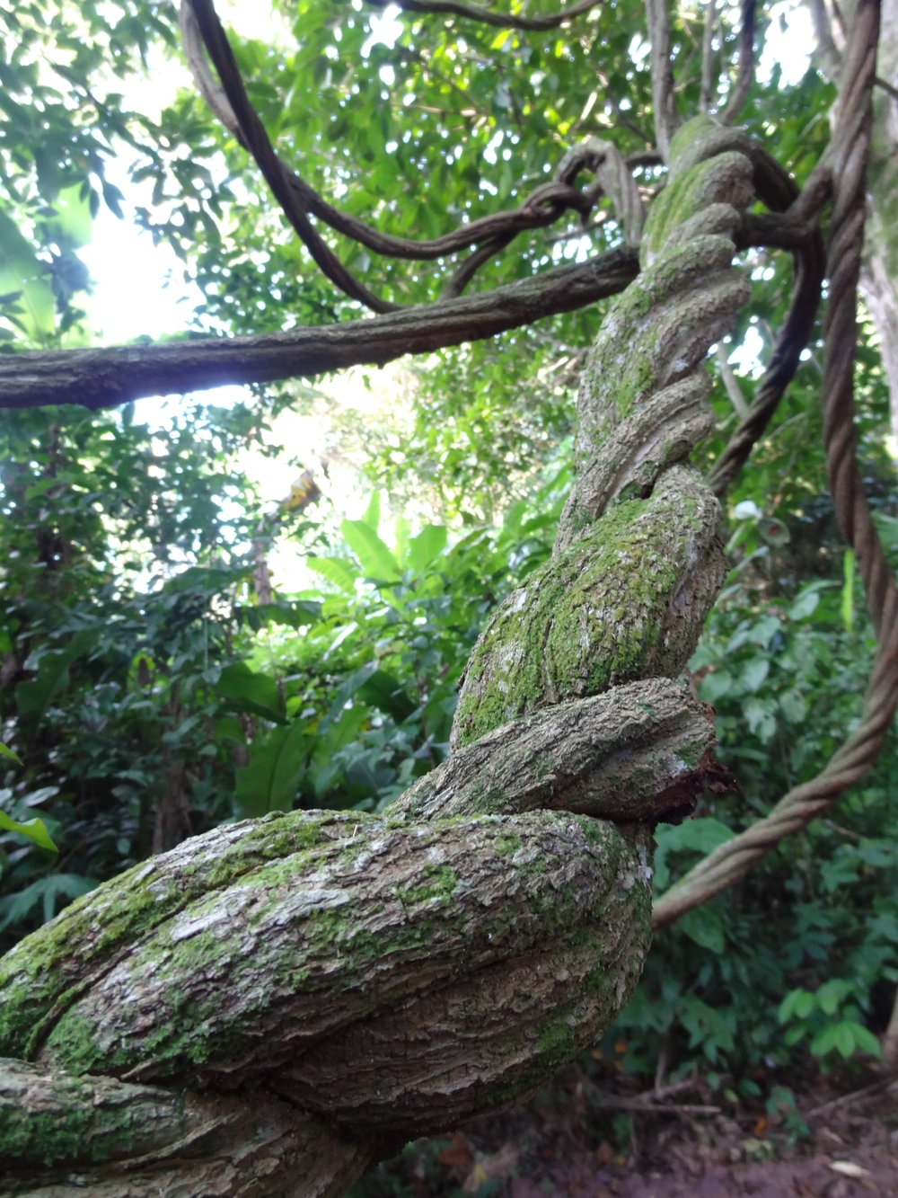The Ayahuasca vine, taken in the Peruvian Amazon. Also known as the Great Vine, the Mother, Vine of Souls, Aya, and Yagé