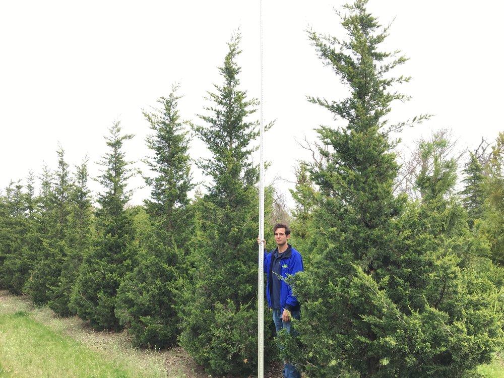 Juniperus chinesis 'Hetzii Columnaris'