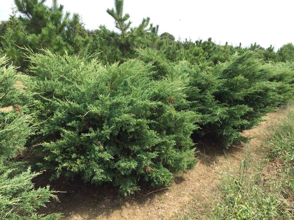 Juniperus chinensis 'Hetzii Glauca'
