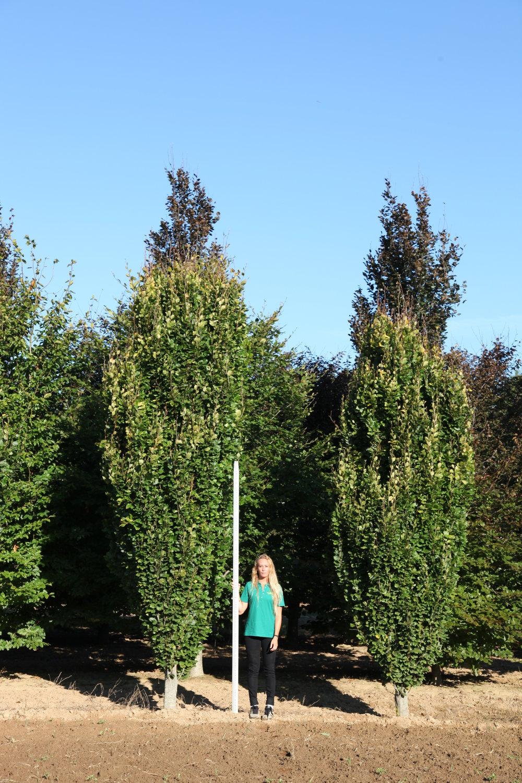Fagus sylvatica 'Dawyck Green'