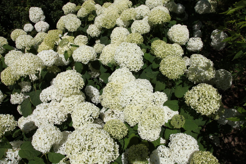 Hydrangea arborescens 'Incrediball'