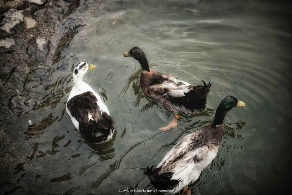 Duck Threesome