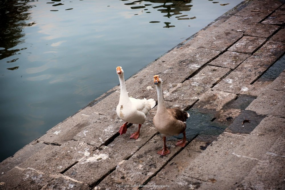 Happy Ducks