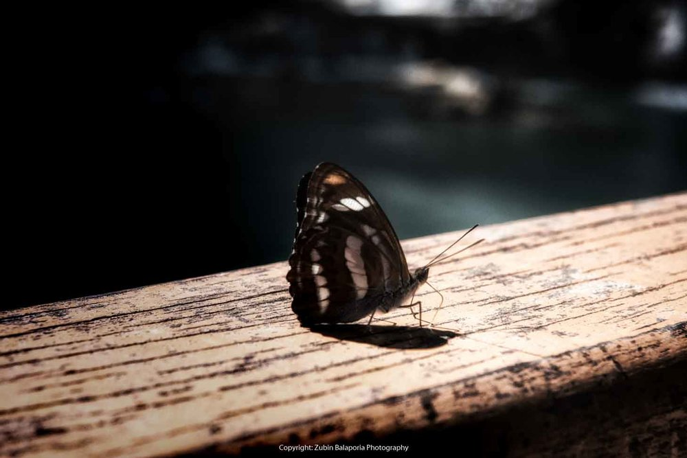 Kuang Si Butterfly 2