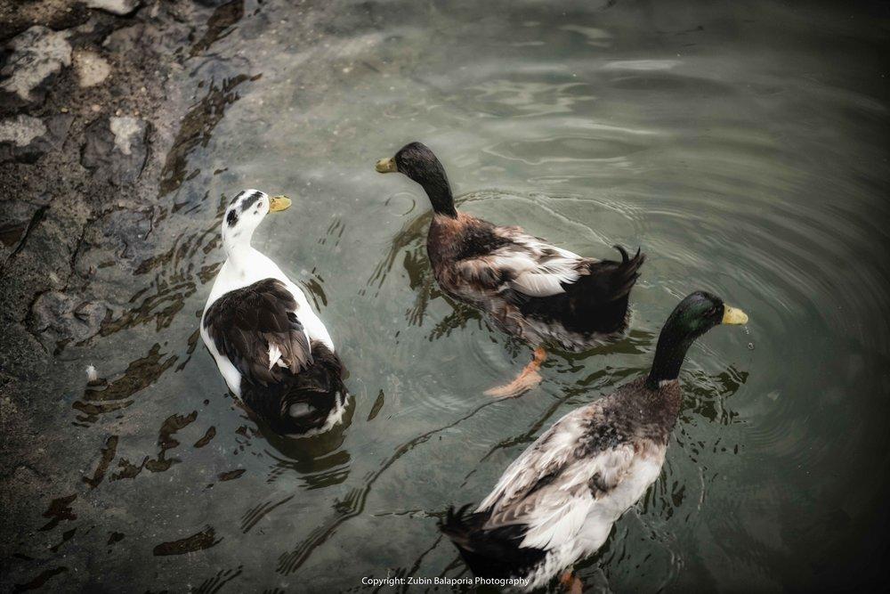 BG Geese 51C.jpg