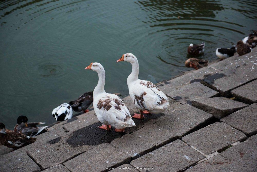 BG Geese z 5 PRINT.jpg