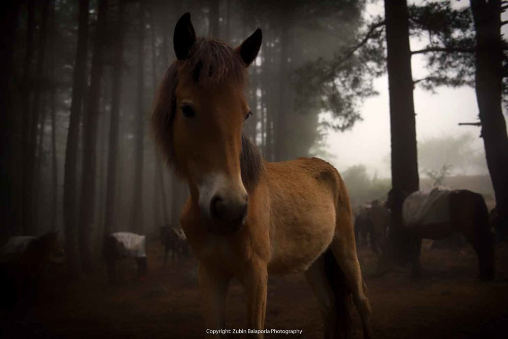 BHU Tan Pony 33 SL RUCHIKA.jpg