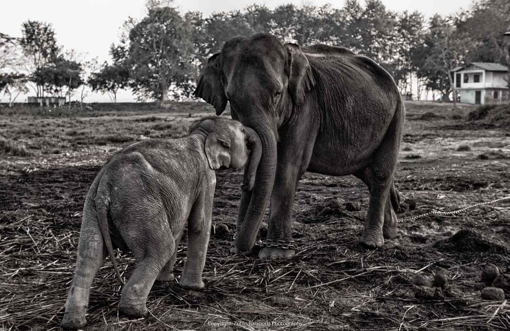 KAP Elephant Mother & Baby 10 BW.jpg