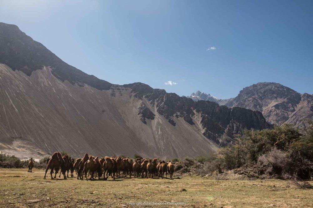 The Camels of Nubra 01