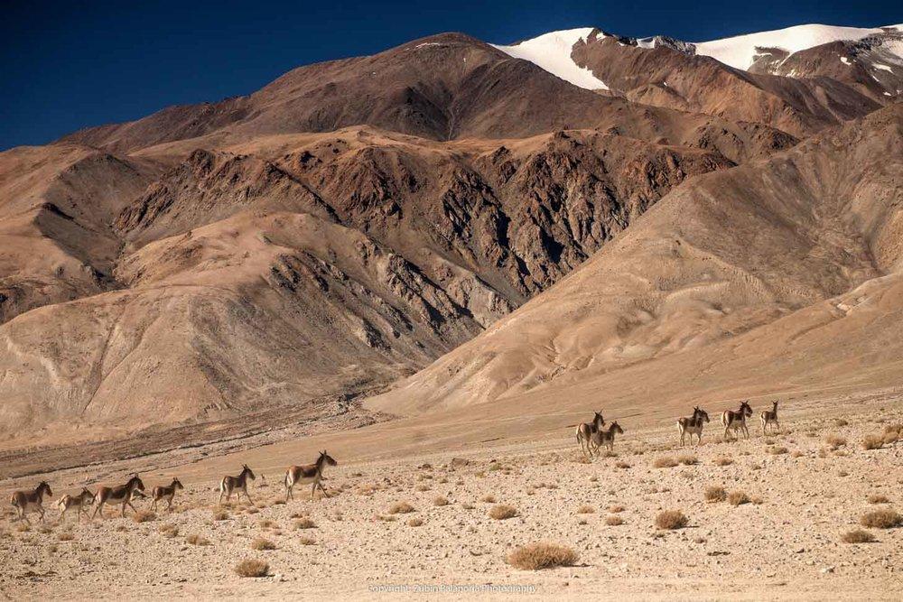 Himalayan Wild Ass Herd