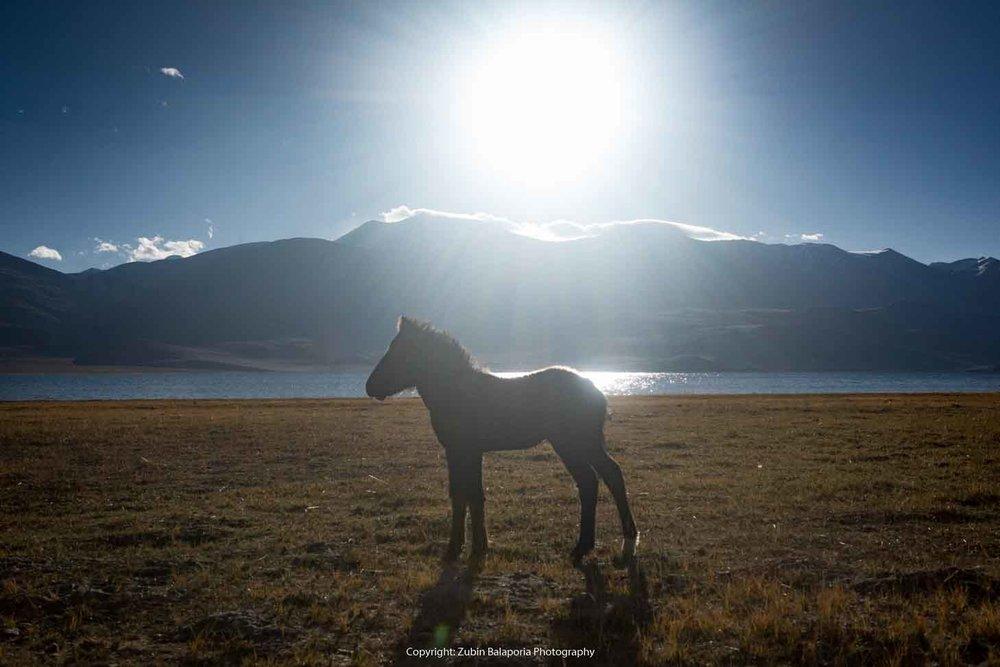 The TsoMoriri Foal
