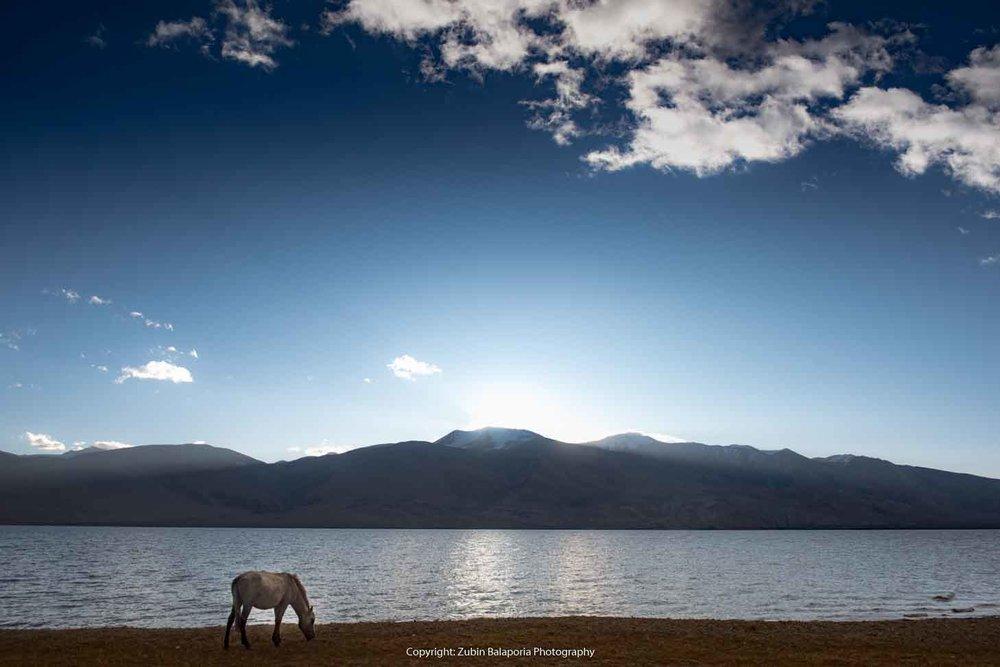 Lake Tsomoriri - Grazing Horse