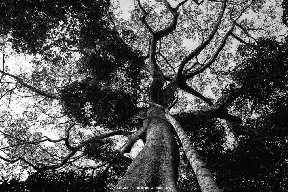 The Twisted Tree in the Amazon