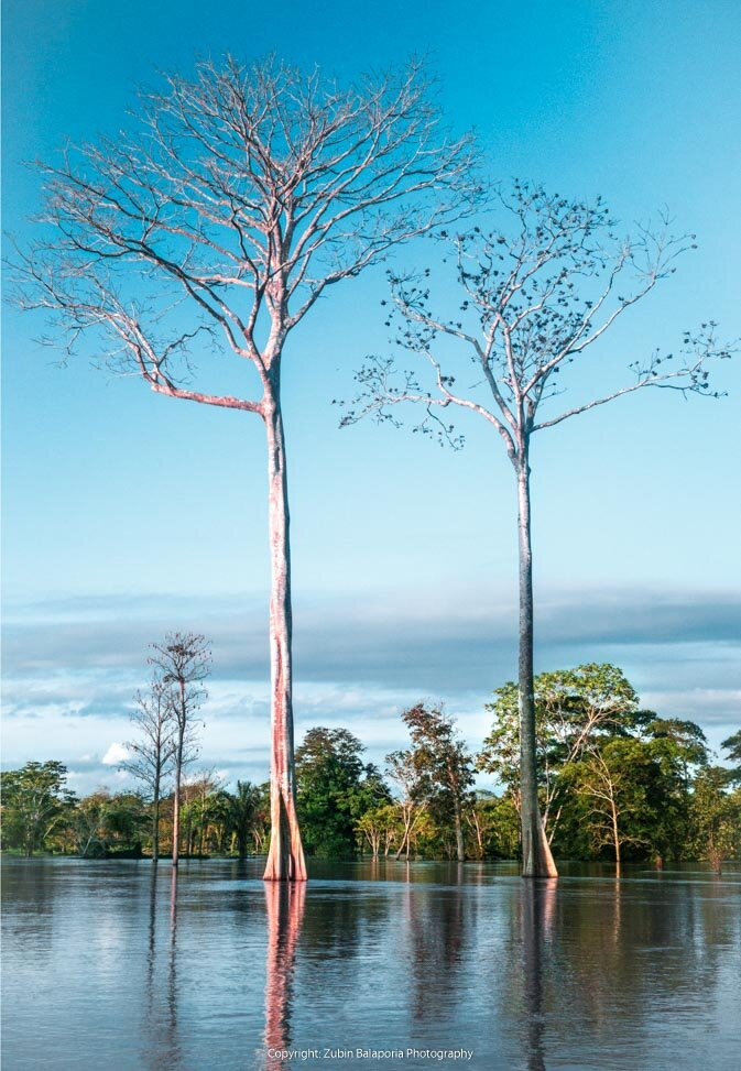 Amazon Tranquilo Trees
